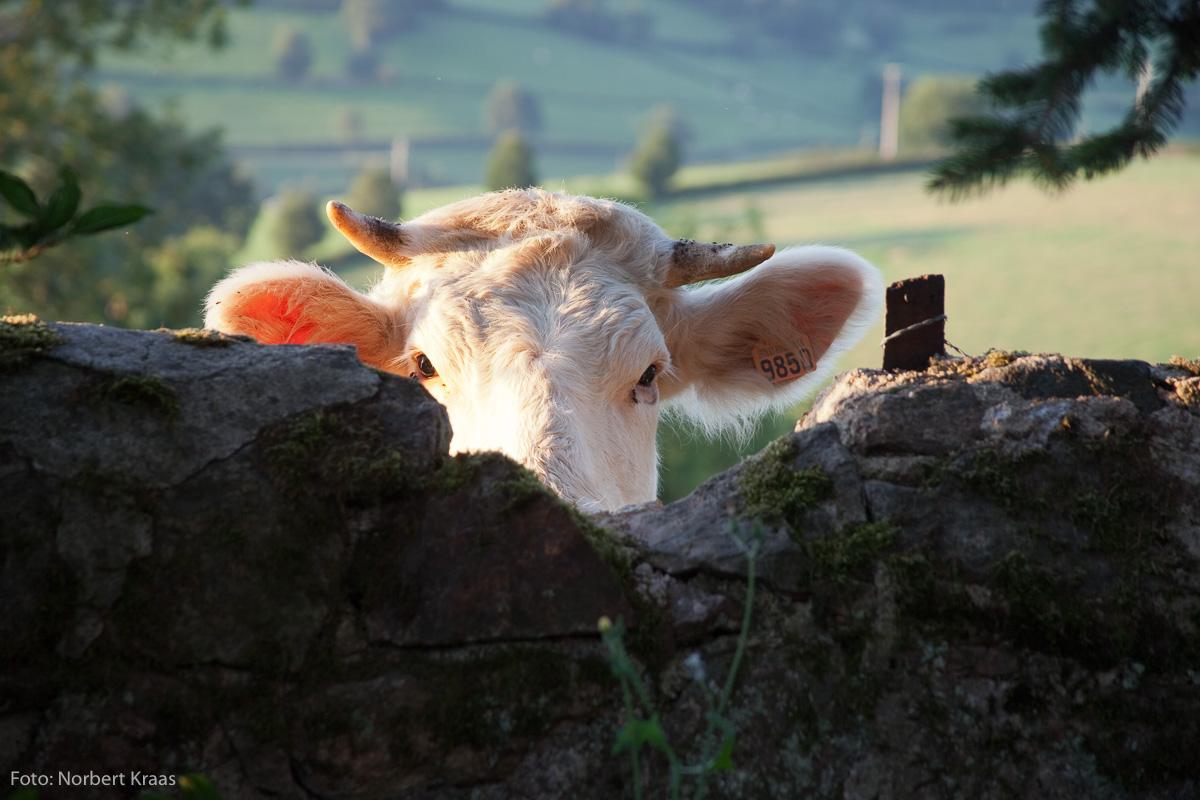 """""""Kühe sind so unterschiedlich wie Menschen."""" Und immer neugierig!"""