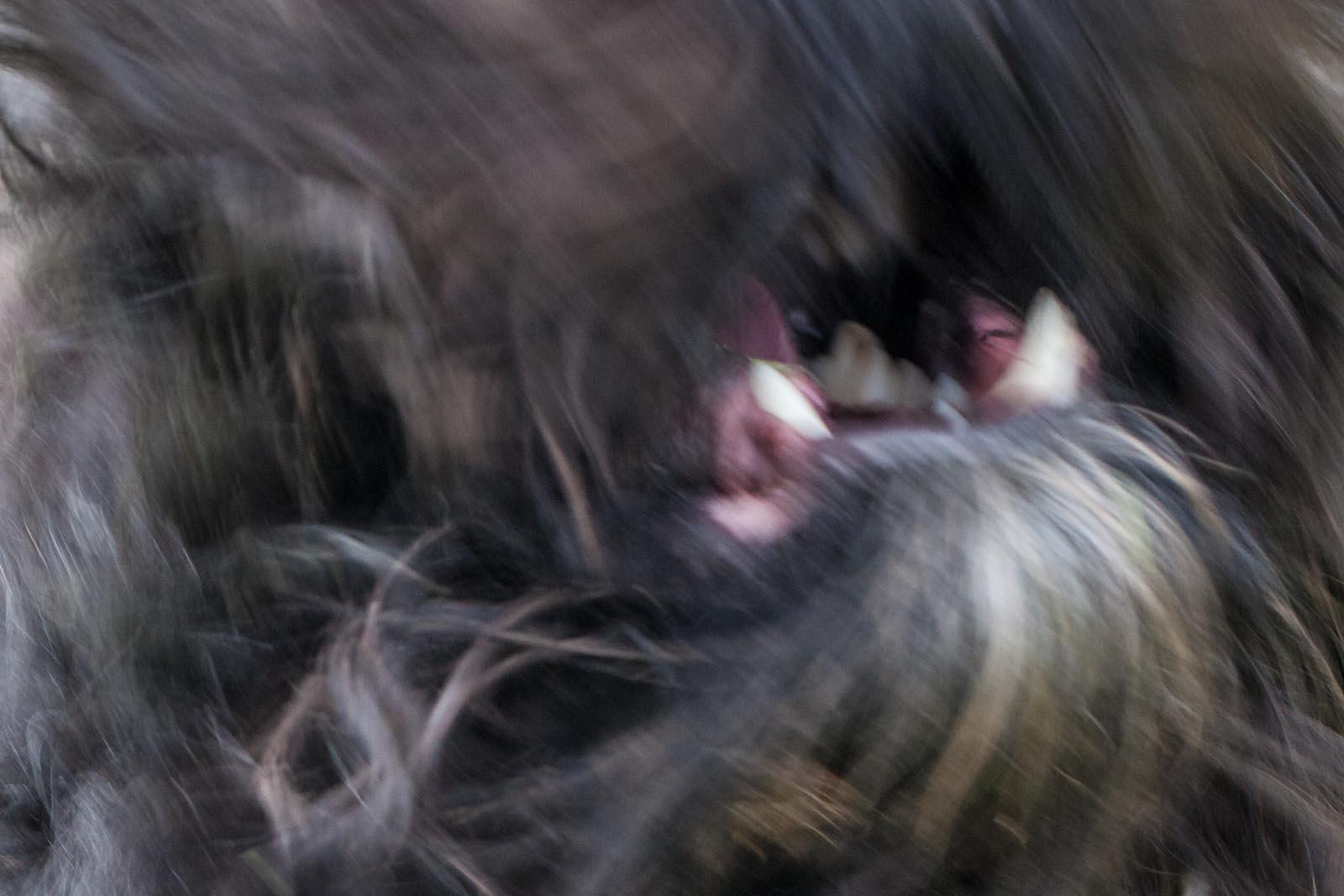 Sichtlich verärgerter Bärenpanther in der Fotofalle.