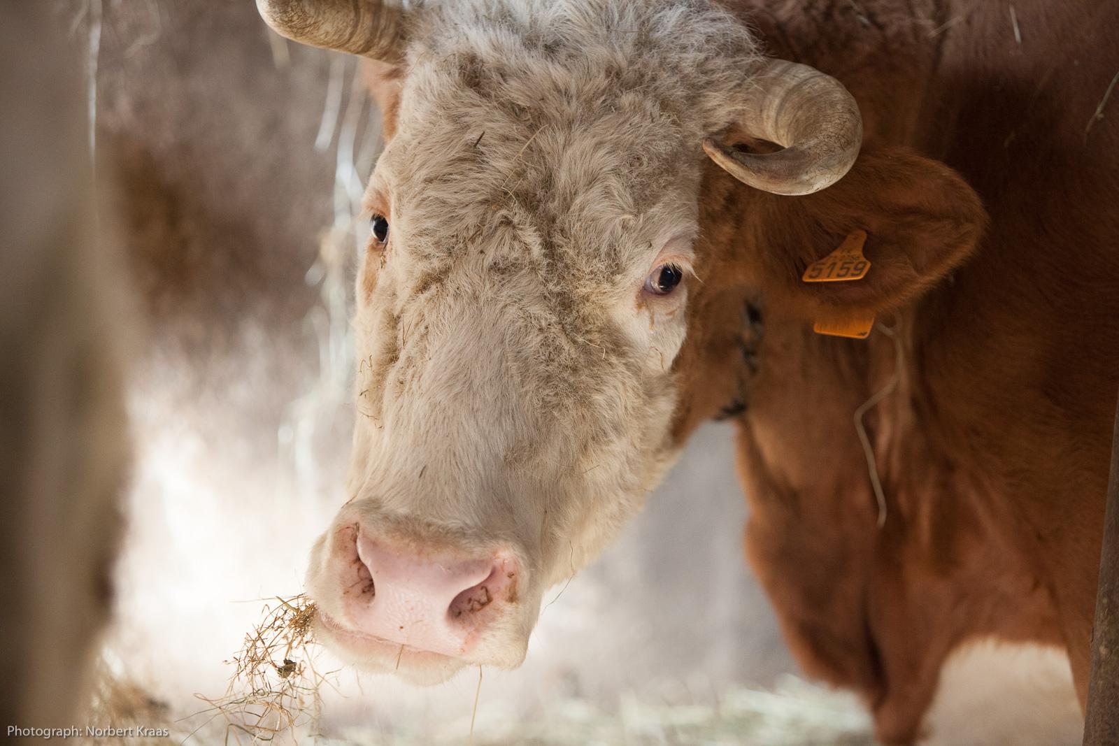Diese Kuh von Jean in Burgund hatte Glück, im Stall und auf der Weide