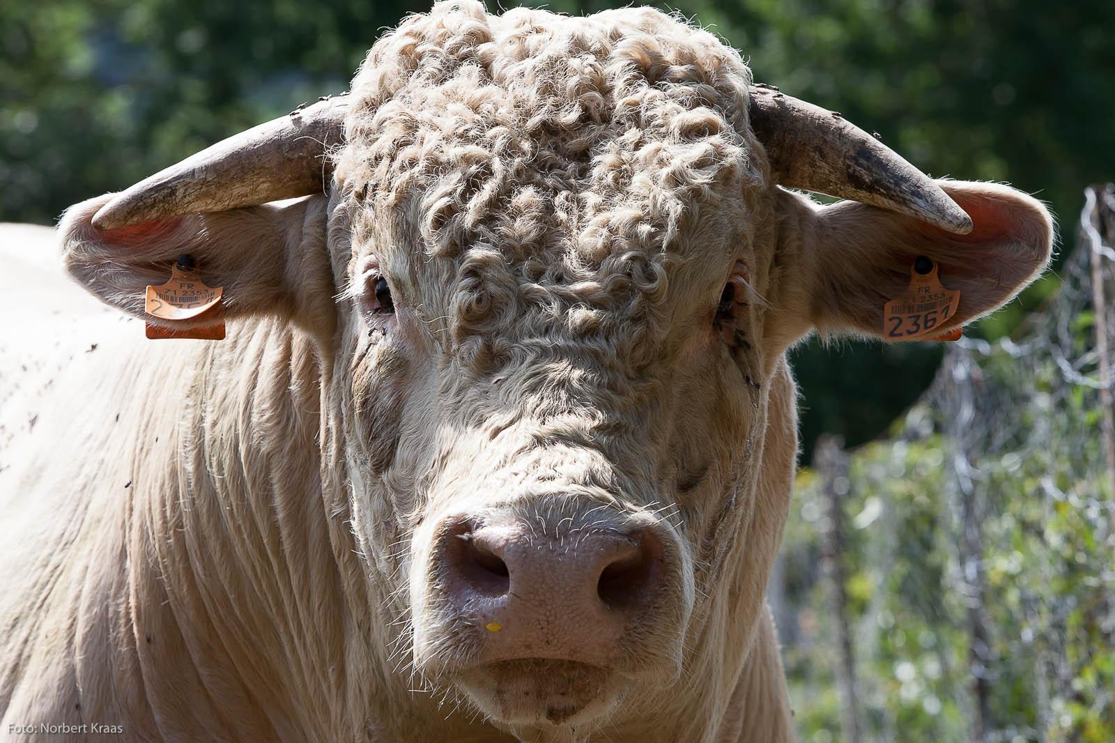 You lookin' at me? 1000 kg Kraft. Charolais-Stier, Ecussols, Burgund. Foto: Norbert Kraas