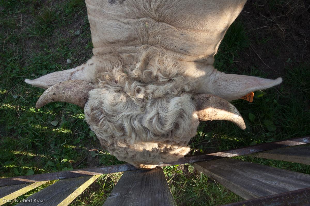 Ein Charolais-Stier senkt entspannt den Kopf – und will gestreichelt werden.