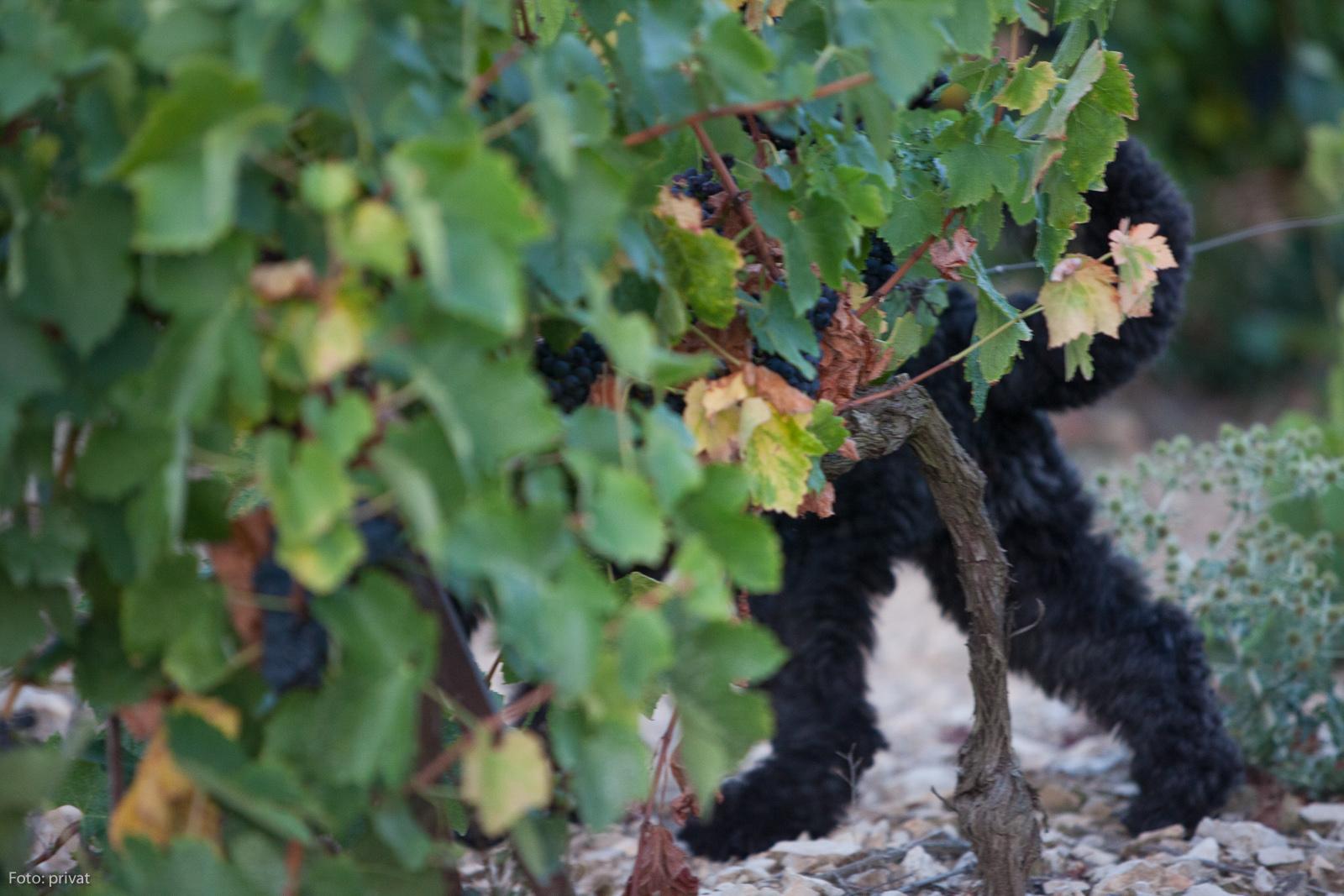 Bärenpanther in einem Weinberg in der Nähe von Minerve im Languedoc.