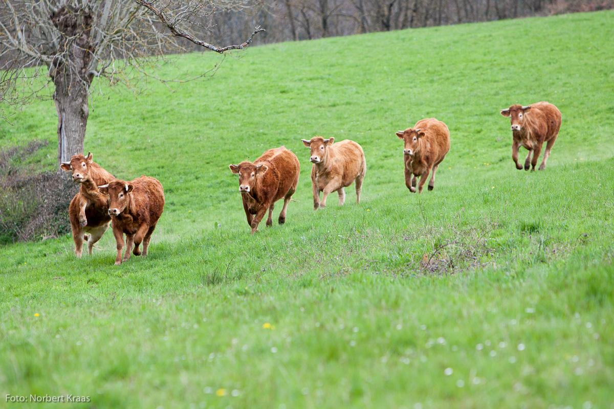 Kühe brauchen frische Luft, frisches Gras und Platz zum Toben. Aubrac-Rinder in Burgund.