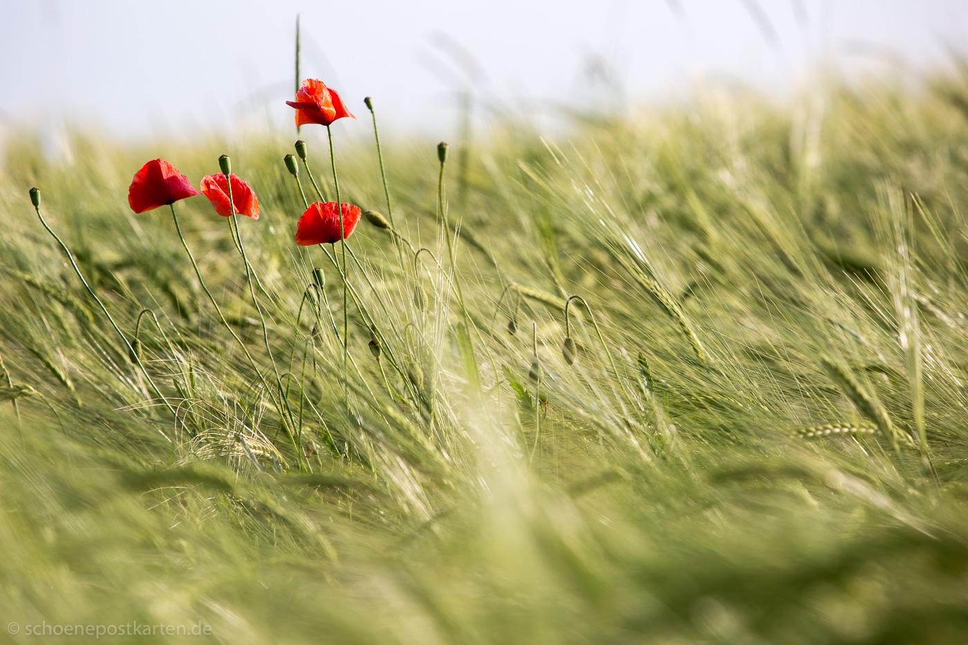 Mohnblüte auf dem Feld. Weltweit gibt es rund 100 Arten aus der Familie der Mohngewächse