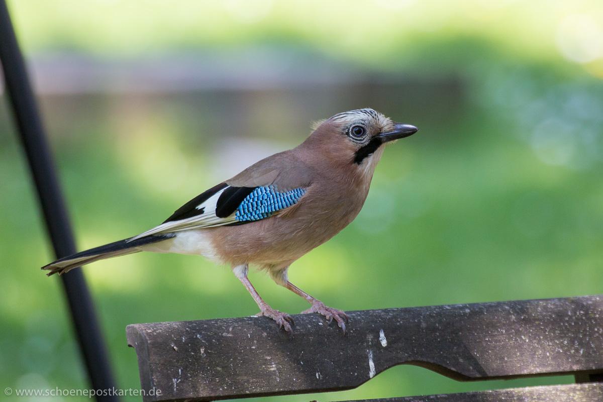 Manchmal kommen Vögel ja auch zum Beobachter wie dieser Eichelhäher (Garrulus glandarius)