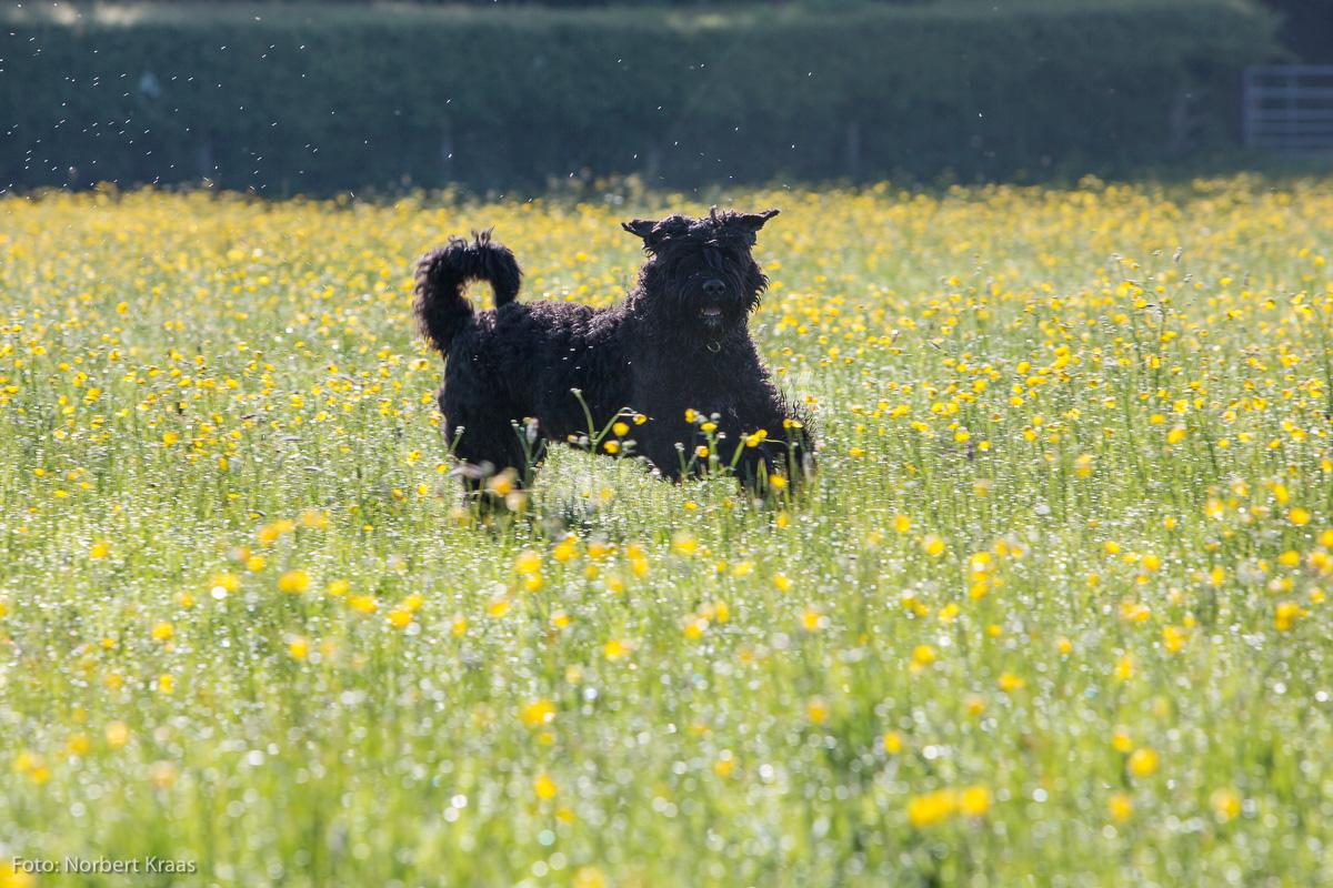 Kein schwarzes Schaf, sondern ein ausgelassener Bouvier auf einer Wiese in den Cotswolds
