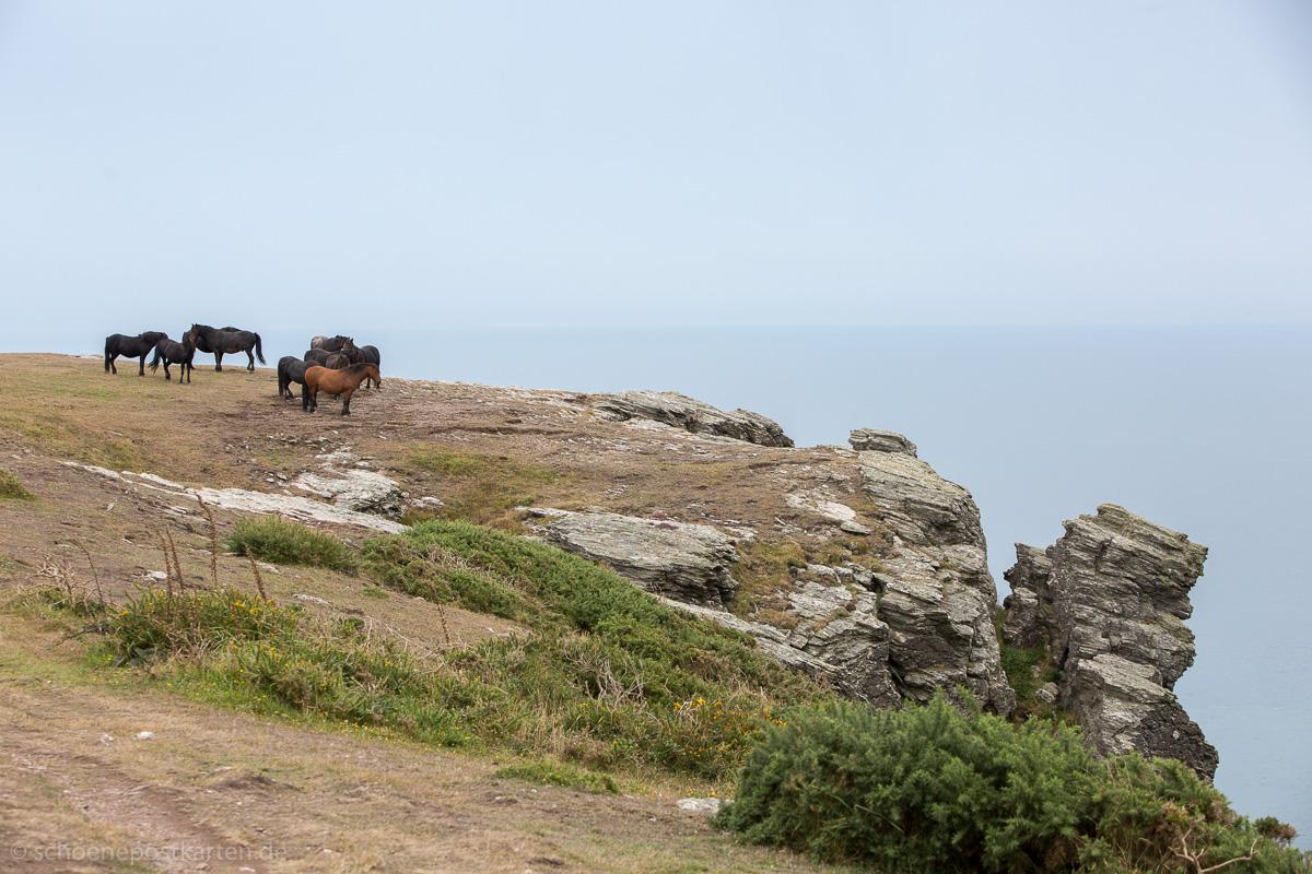 Wildpferde auf dem South West Coast Path bei Salcombe in Devon
