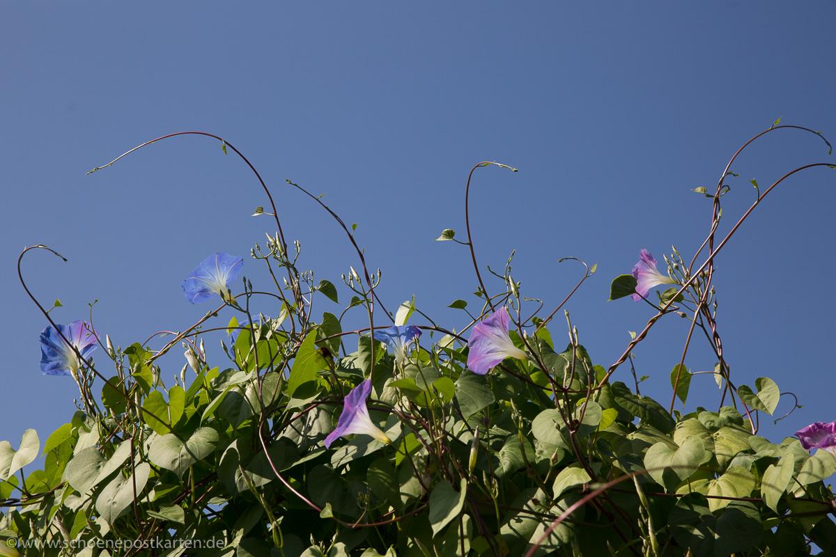 Mehr als 1600 Windengewächse (Convolvulaceae) gibt es weltweit. Diese haben wir bei Erika Jantzen fotografiert