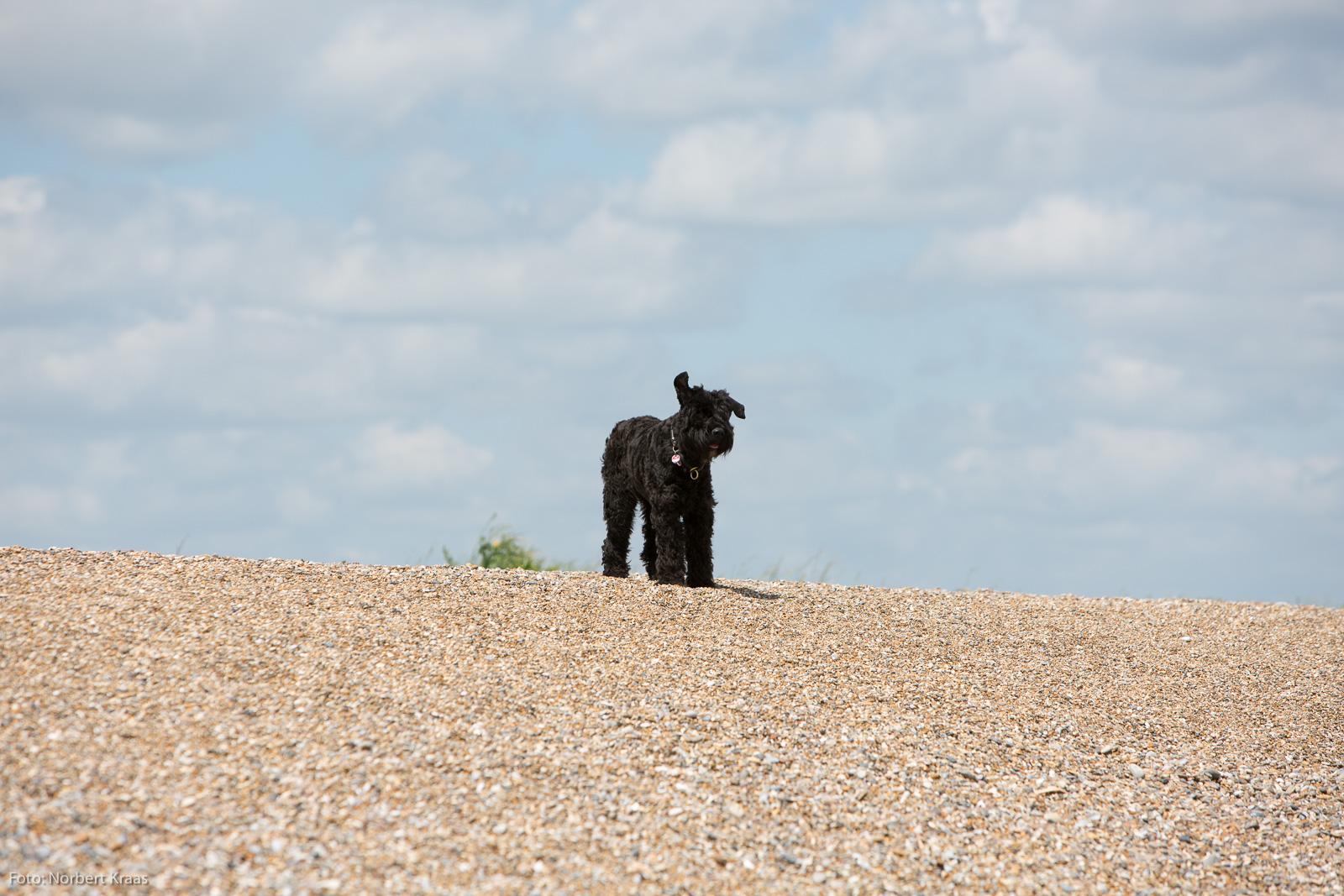 Bouvier Kajsa in ihrer Funktion als Windanzeiger am Dungeness Beach in Suffolk