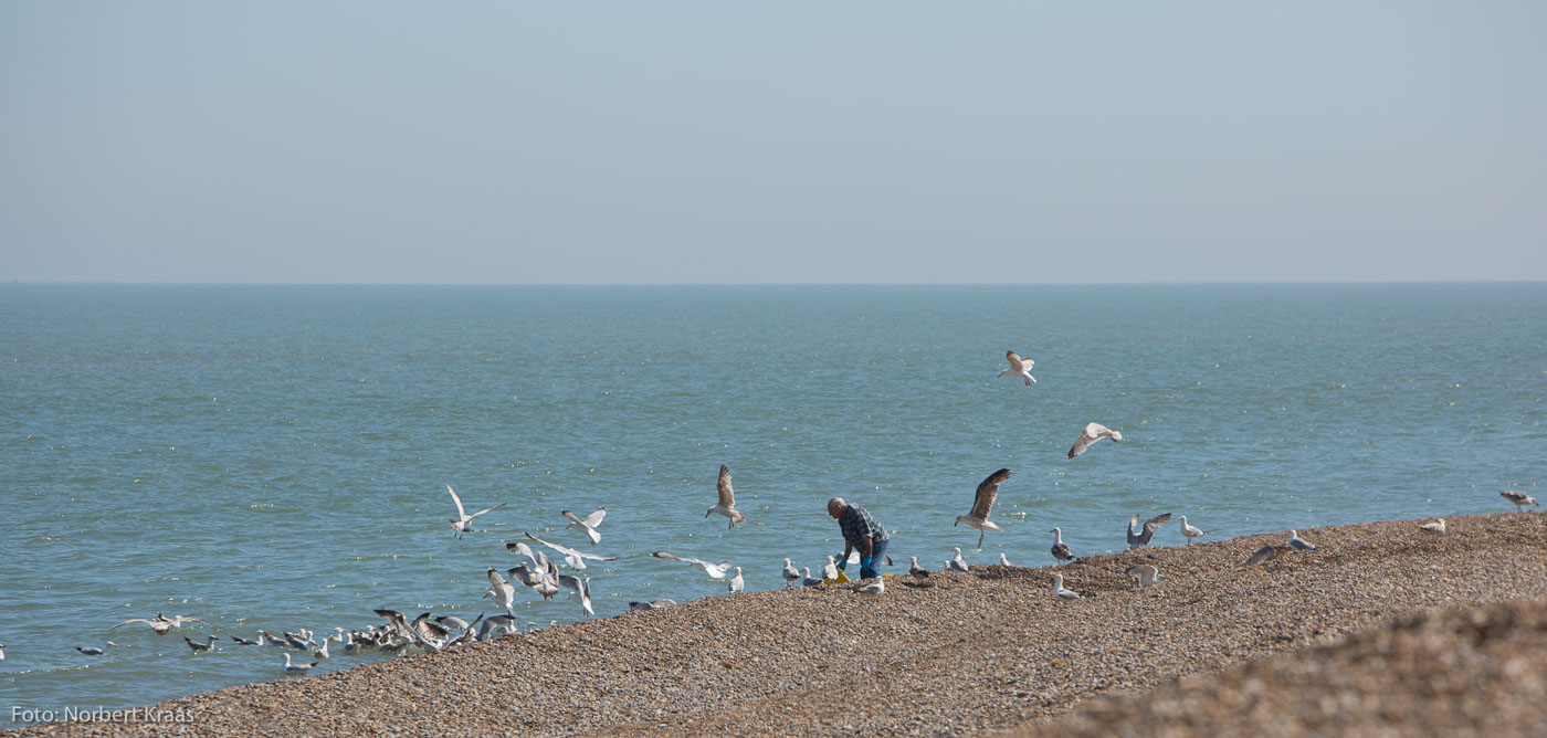 Fisher on the shingle beach in Aldeburgh, Suffolk feeding the gulls with the remains of the day
