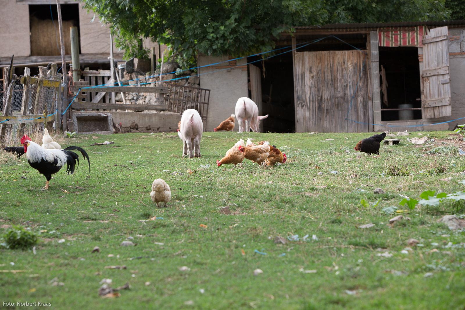 Wenn Hühner und Schweine die Wahl hätten, würden sie diese Art von Freilandhaltung wählen.