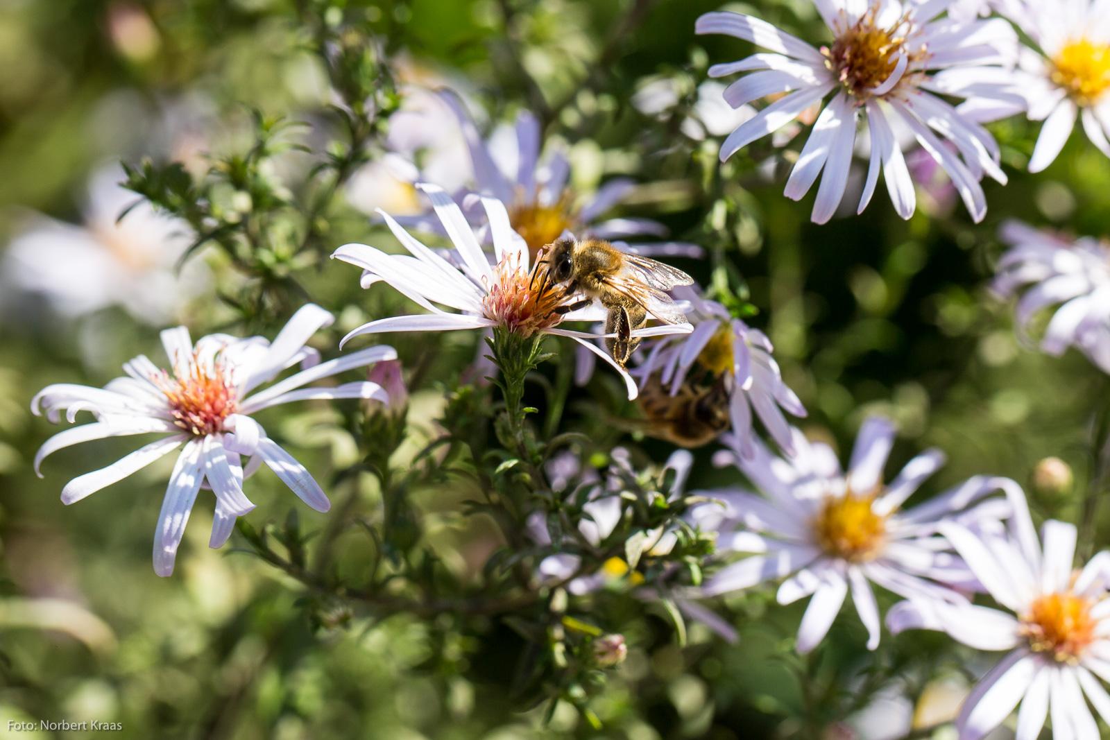 Insektenweide I: Herbstastern (Asteraceae) in voller Blüte