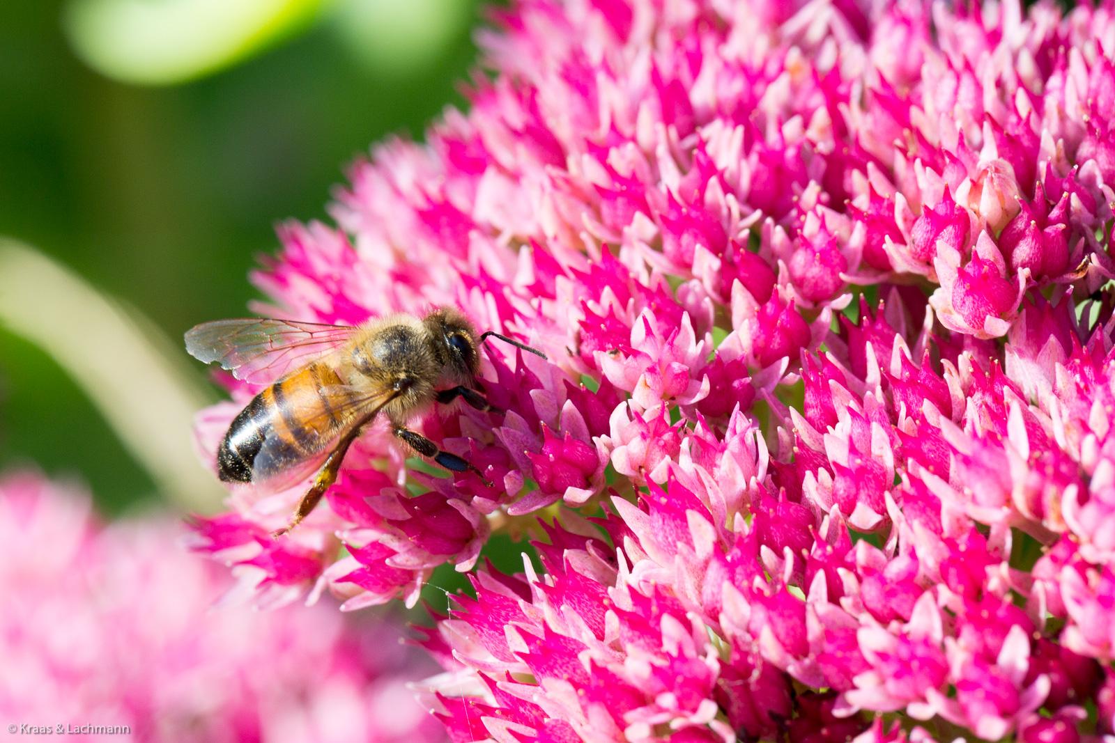 Insektenweide II: Fetthenne (Sedum) auch Mauerpfeffer genannt