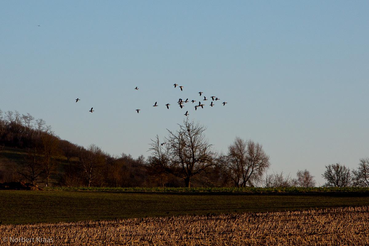 Rostsgänse beim Überflug zwischen Wurmlingen und Unterjesingen