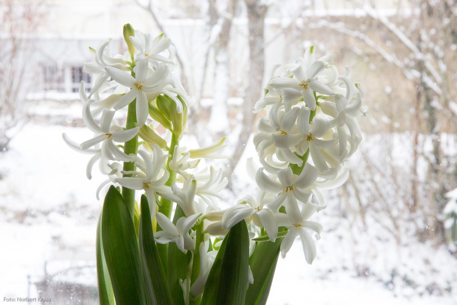 Hyazinthen sind eine Gattung innerhalb der Spargelgewächse und duften nach Frühling