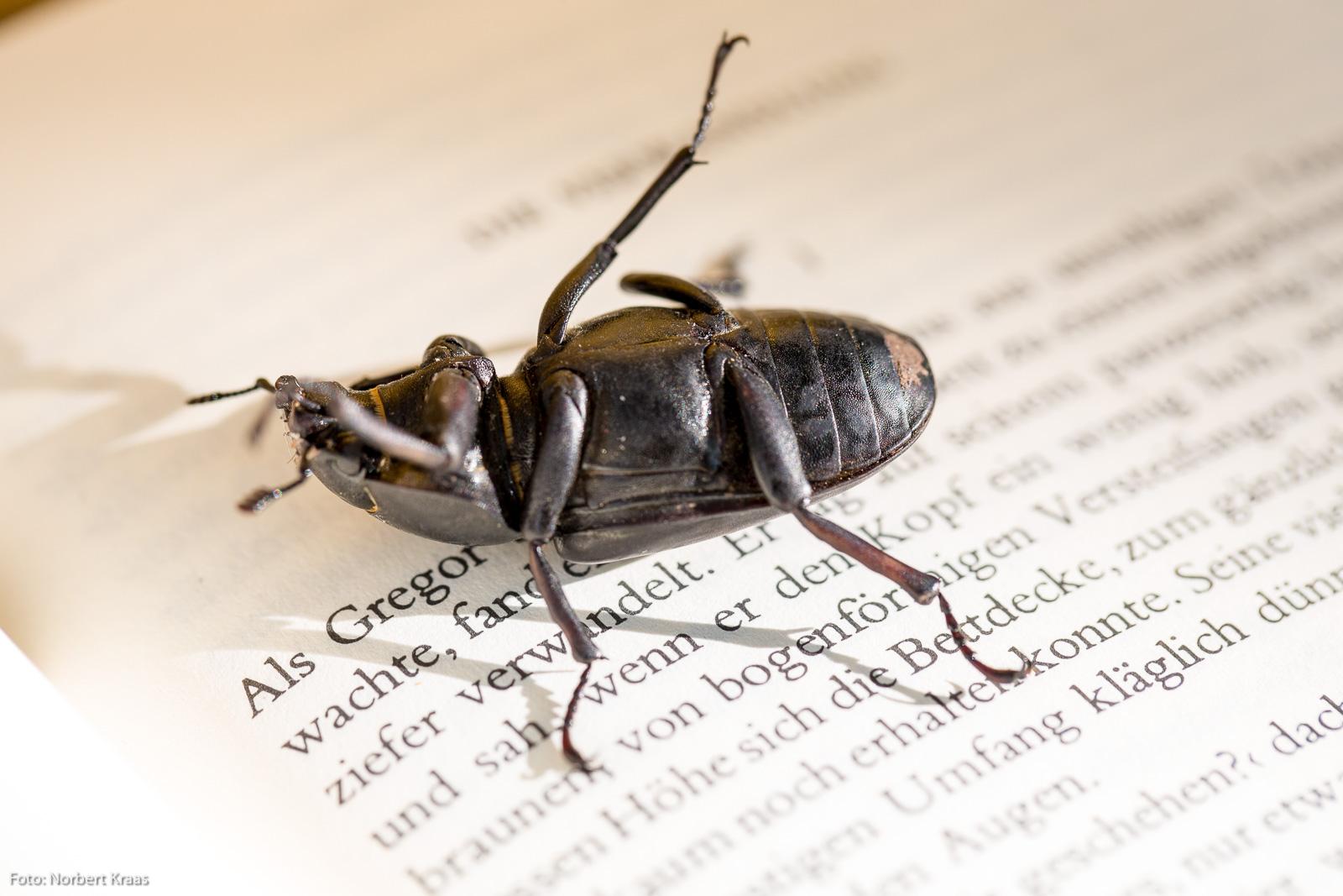 Der Käfer hat sich weder in Kafka verwandelt, noch wurde er für dieses Foto verletzt oder gar getötet.