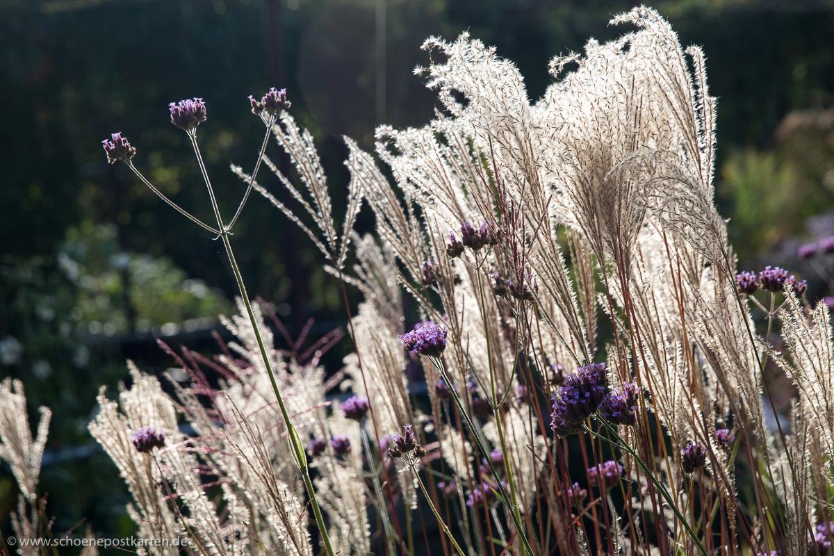 Gräser sind filigrane Schönheiten zu jeder Jahreszeit