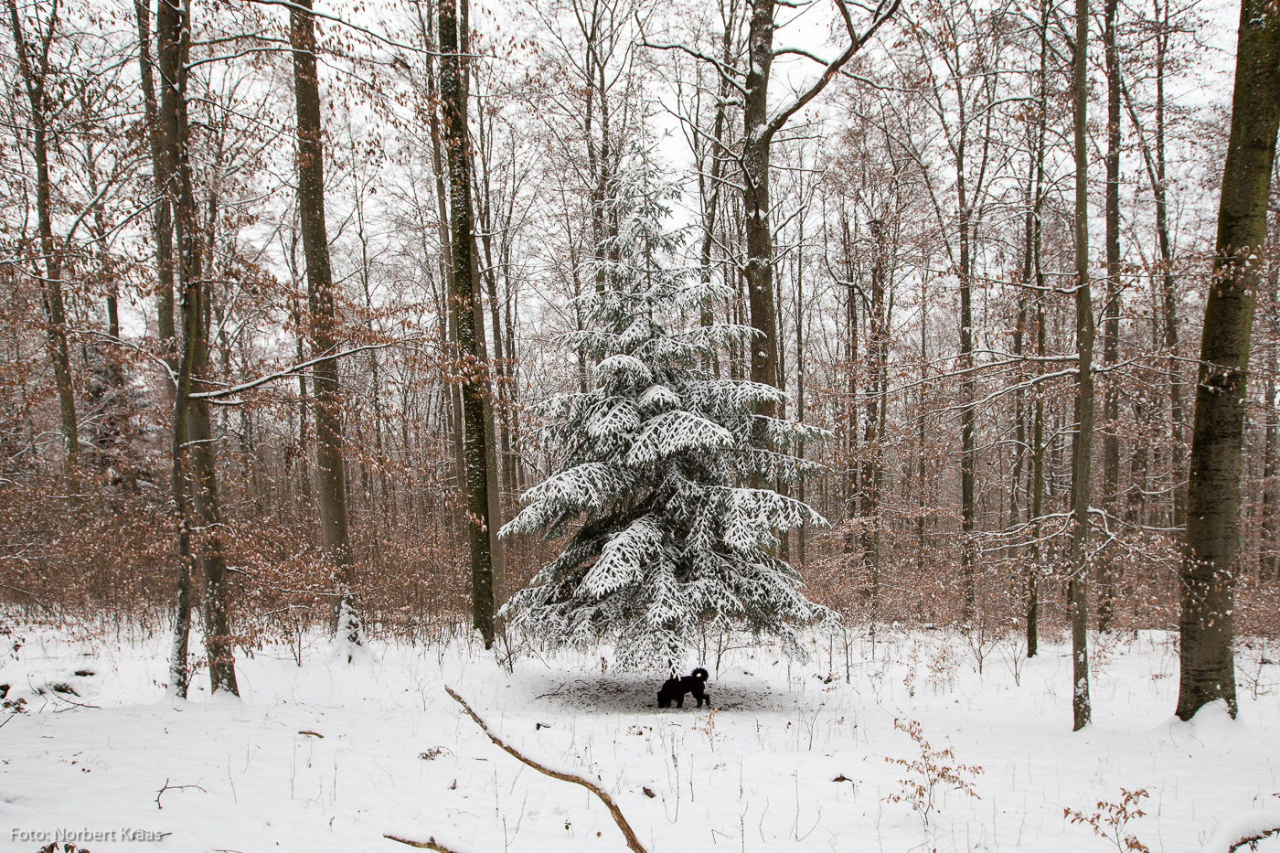Dem schwarzen Hund streckt sie die Zweige hin, bereit. Schönbuch bei Tübingen, 3. Advent 2018