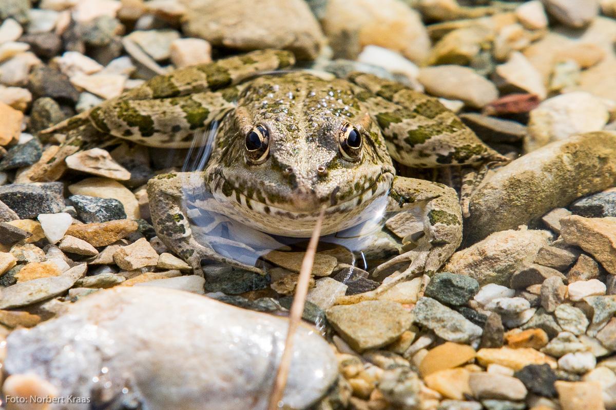 Was sieht der Frosch, wenn er uns ansieht? Man würd's gerne wissen. Foto: Norbert Kraas