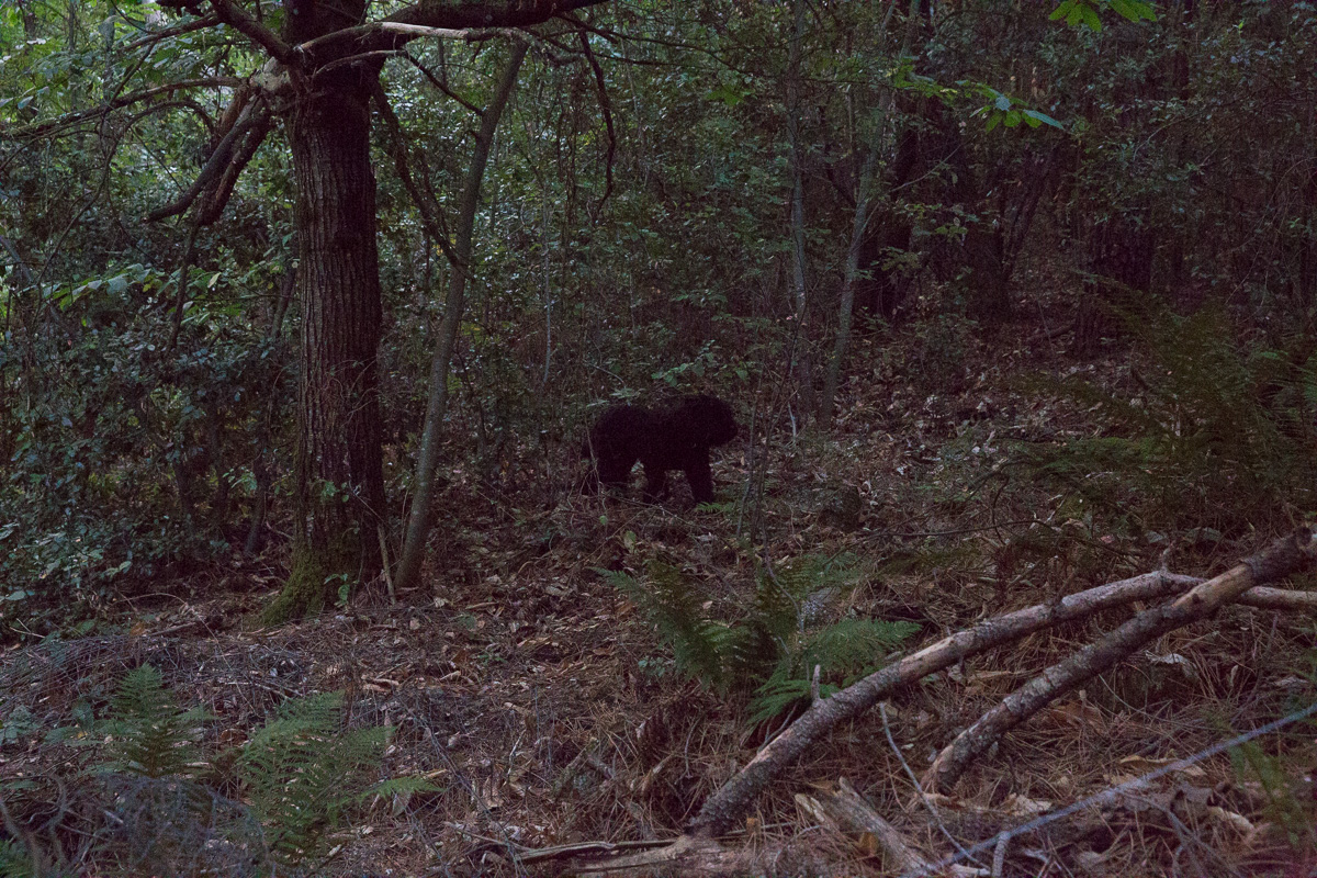 Ist äußerst scheu und legt auf seinen Wanderungen lange Strecken zurück: der Bärenpanther