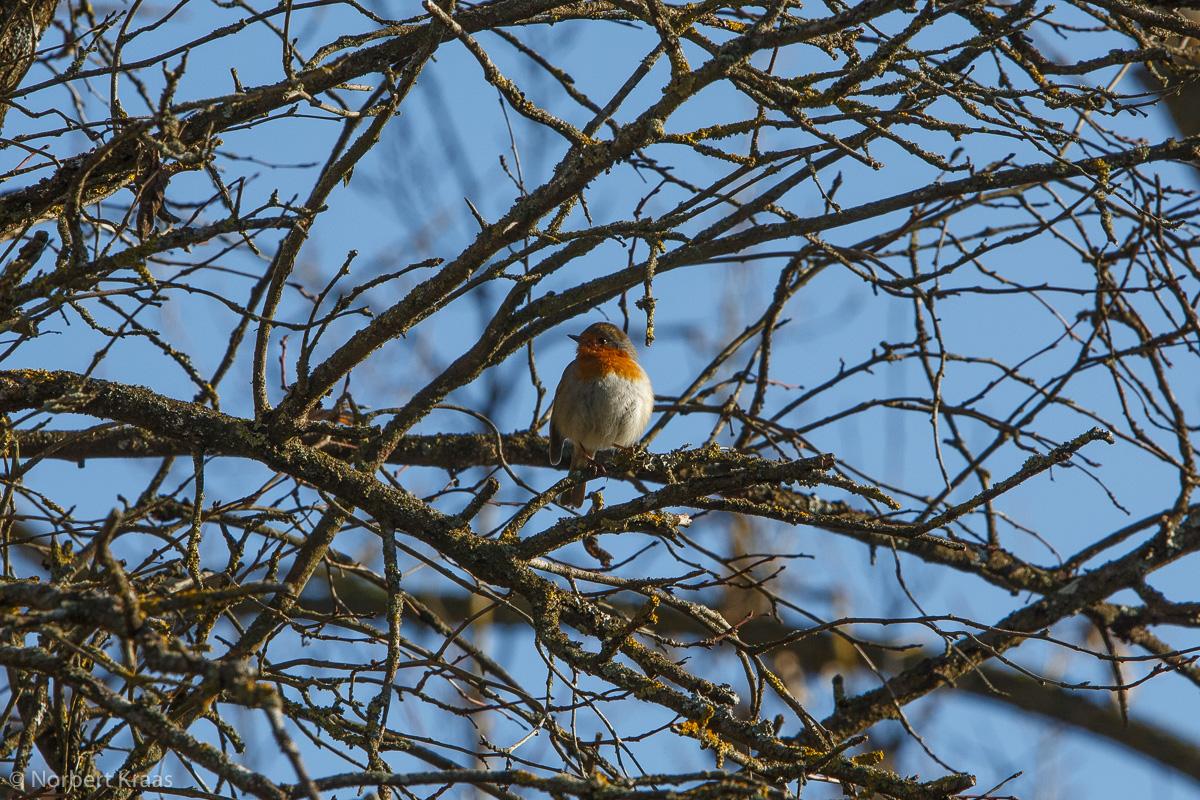 Das Rotkehlchen (Erithacus rubecula), Lieblingsvogel englischer Birder