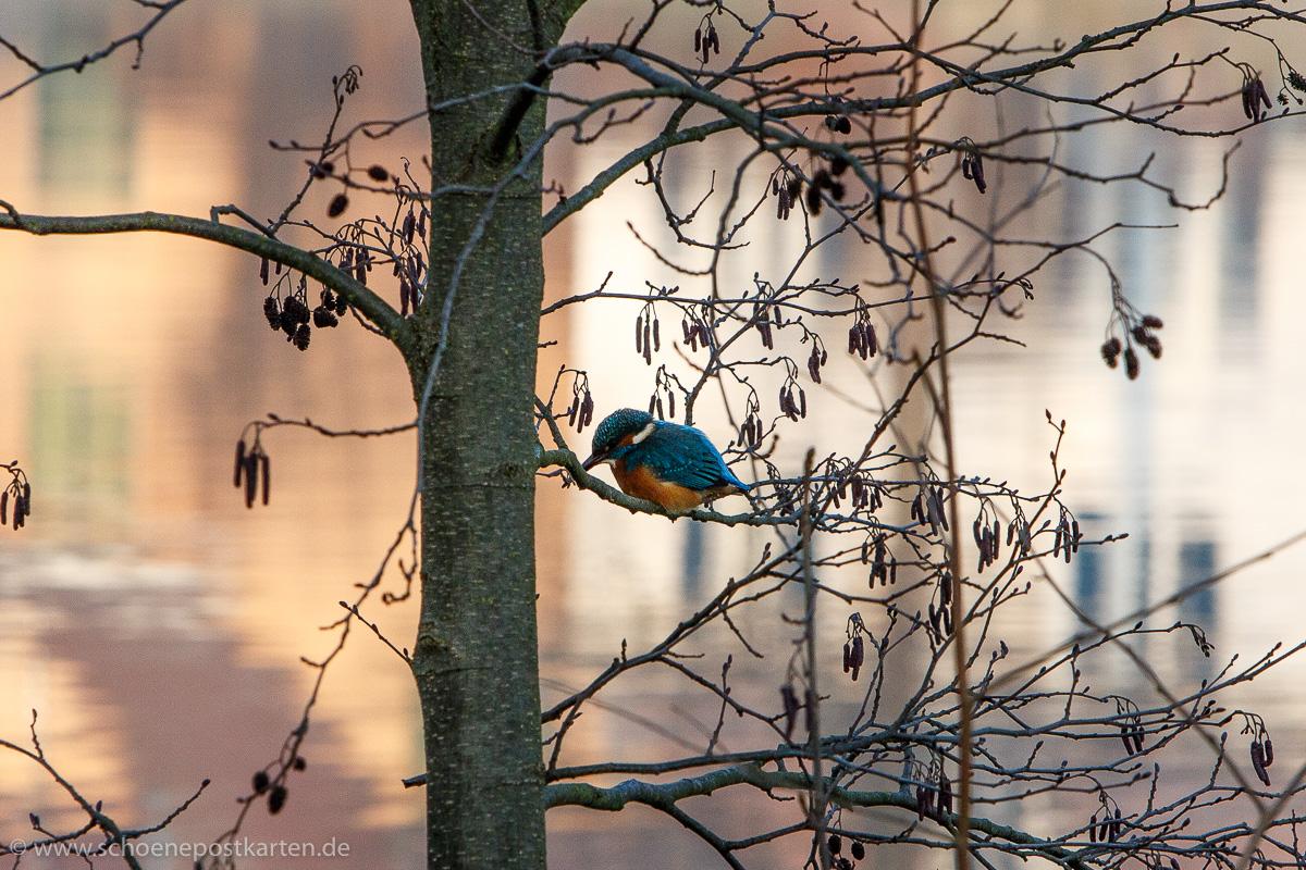 Zarte Schönheit: Eisvogel (Alcedo atthis) am Neujahrstag 2020 am Neckar in Tübingen