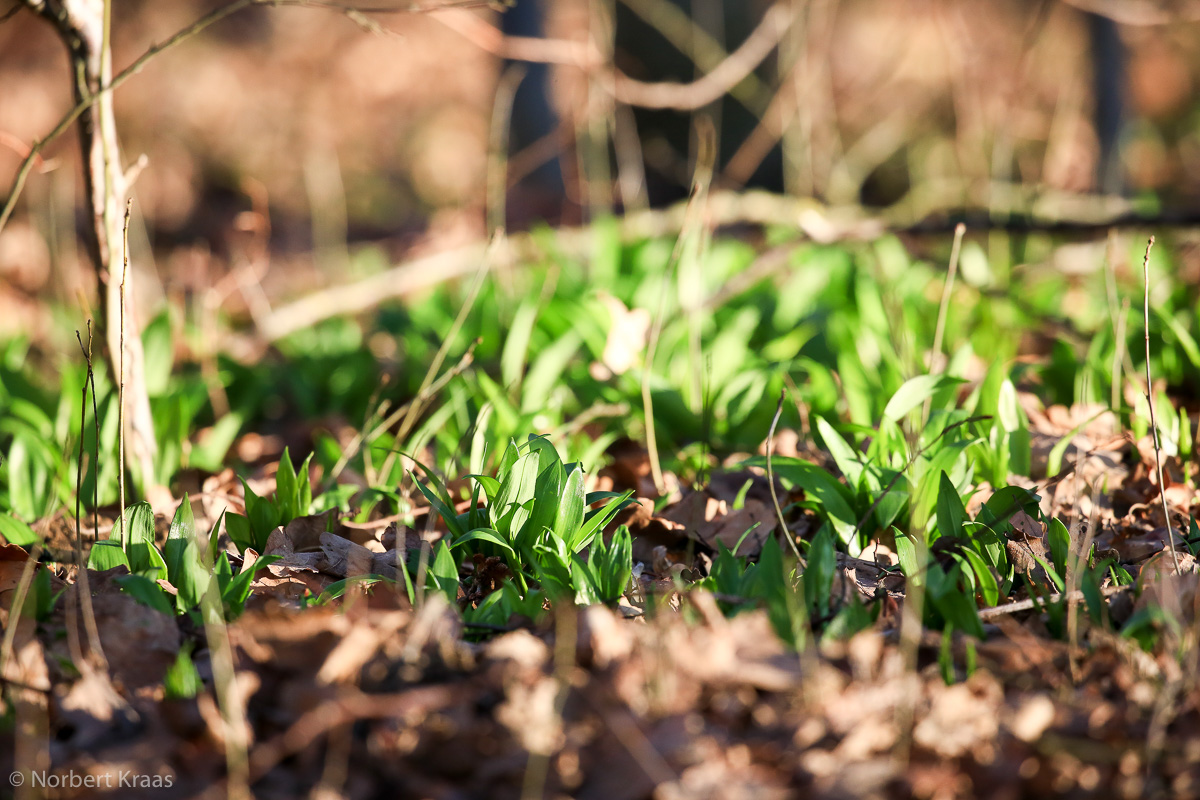 Auch der Bärlauch (Allium ursinum) ist früh dran dieses Jahr, wie hier am Schönbuchrand bei Tübingen