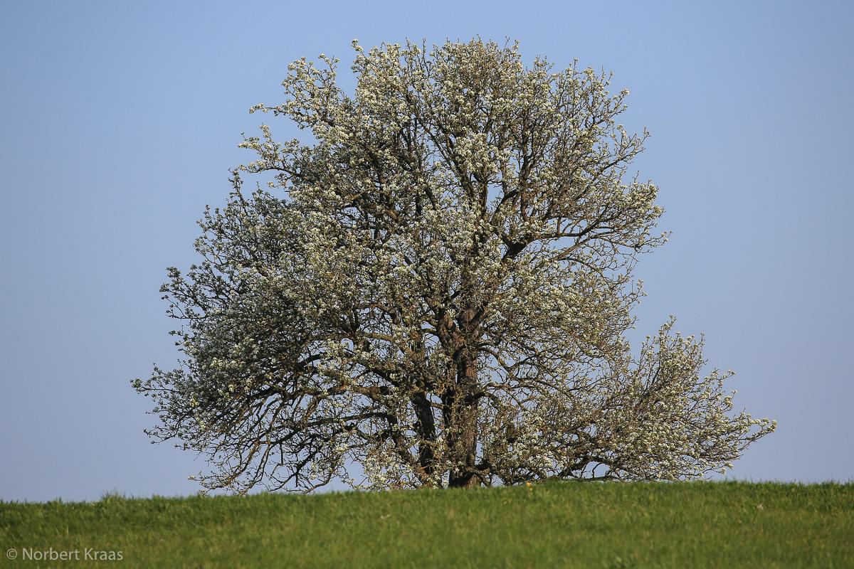 Frühling! Alter Birnbaum in voller Blüte. Pfrondorf bei Tübingen
