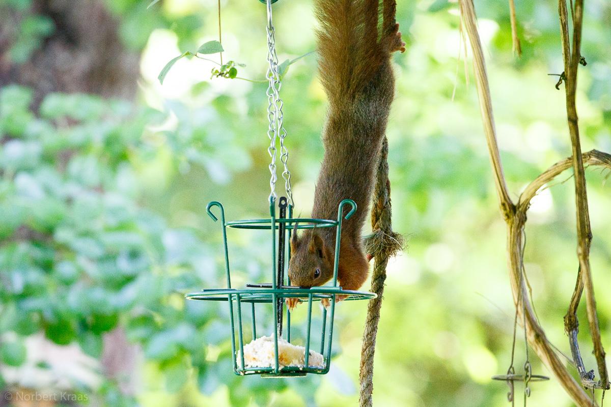 Eichhörnchen sind Akrobaten und wissen, was schmeckt