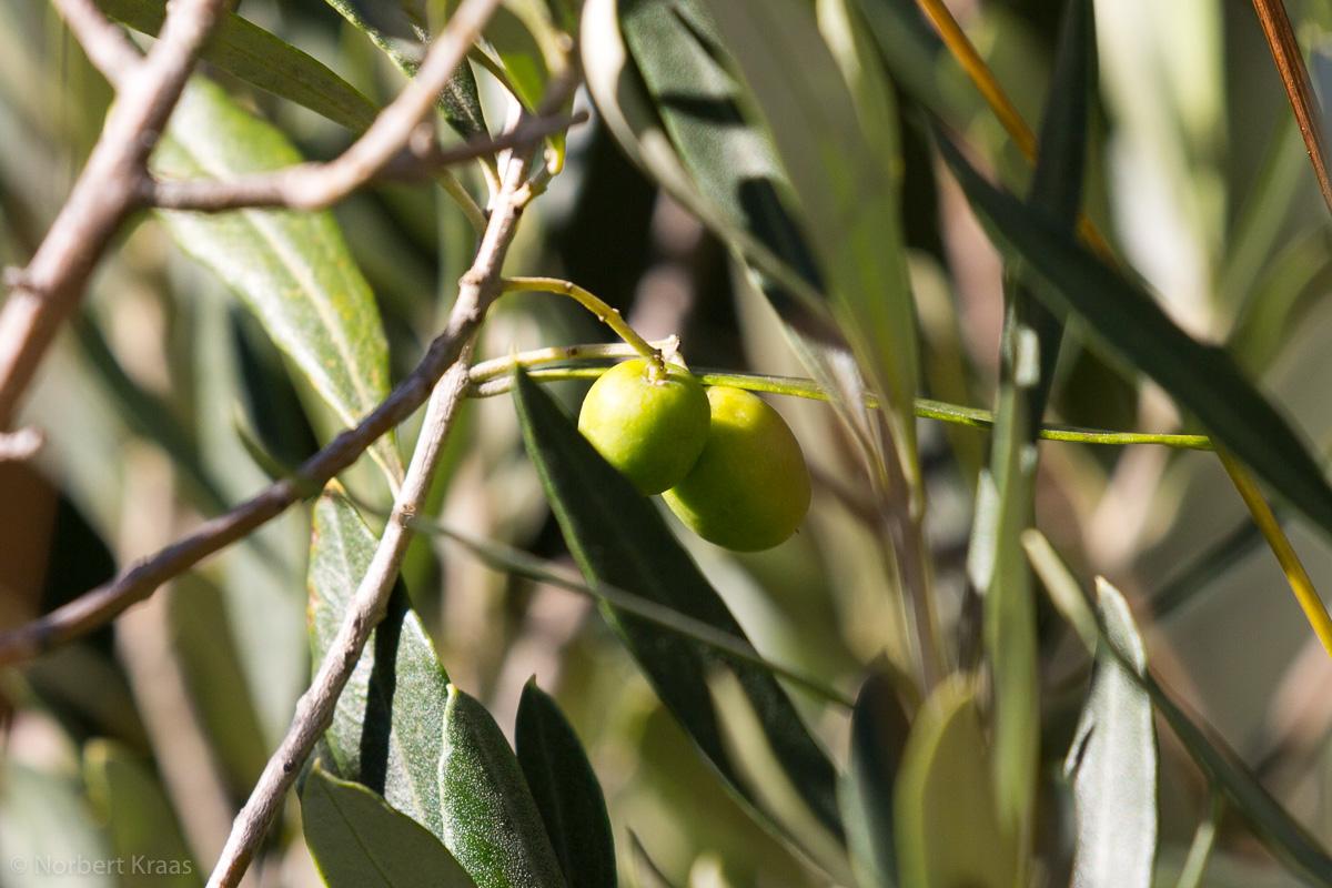 Gedeiht in unserem Garten leider prächtig: unser Olivenbäumchen trug dieses Jahr zum ersten Mal Früchte.