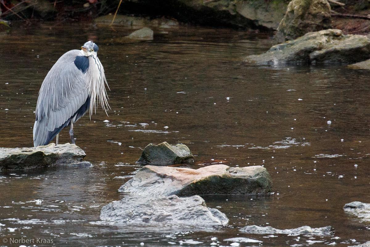 Kurz vor dem Jahresende: ein Graureiher im Tübinger Neckar, der viel zu wenig Wasser führt