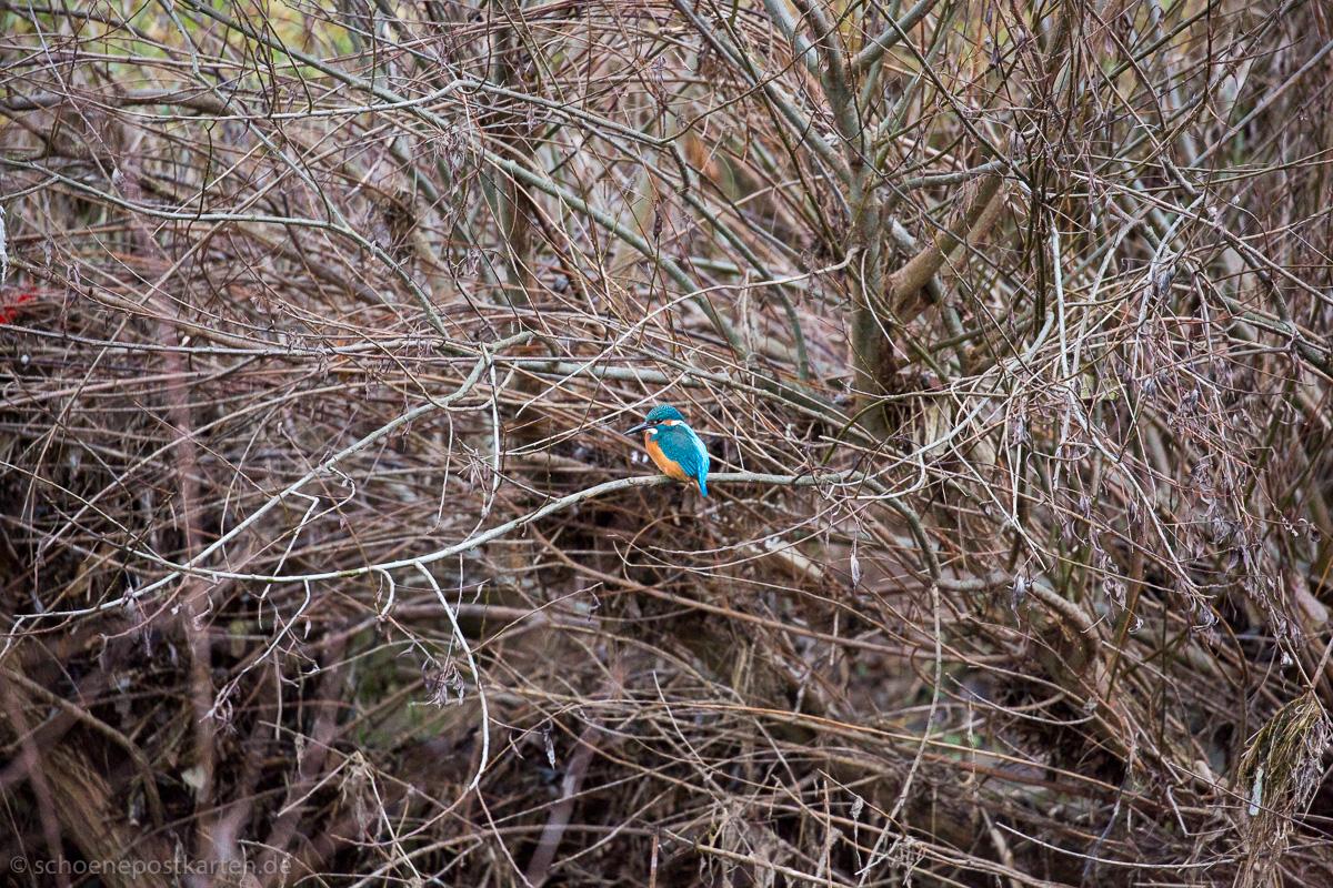 Scheue Schönheit: der Eisvogel (Alcedo atthis), 35 – 45 g leicht, 18 cm lang, 25 cm Flügelspannweite