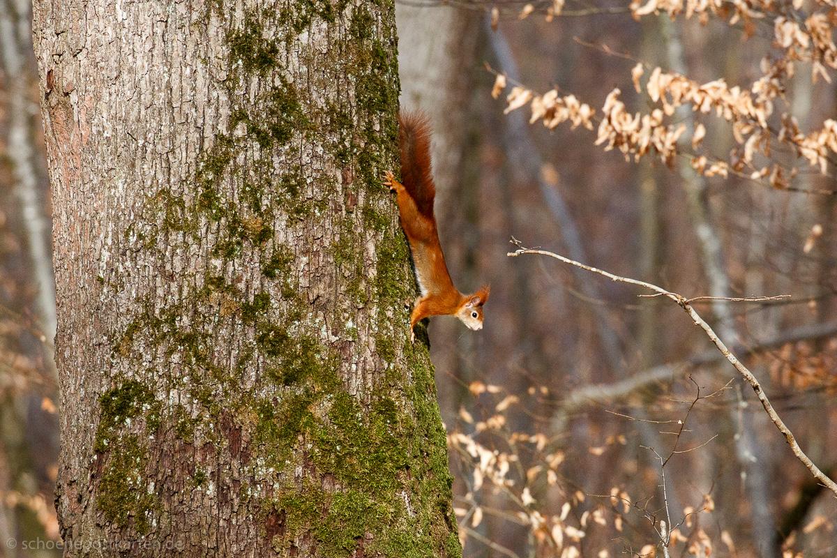 Eichhörnchen im Schönbuch bei Hagelloch