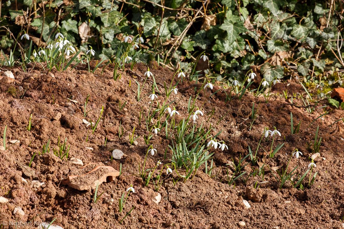 """""""Hier blüht wohl einiges auf"""": Schneeglöckchen (Galanthus) auf einem Haufen Tübinger Lehmboden"""
