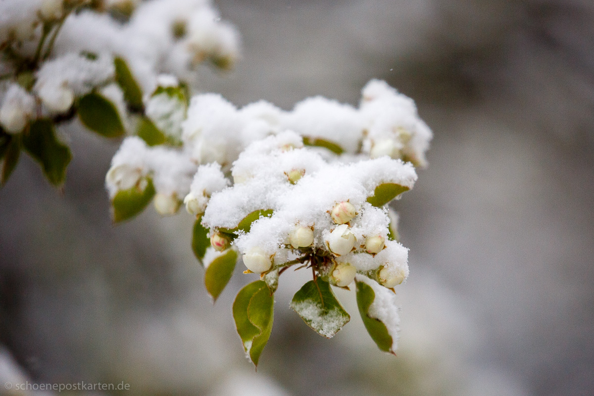 Mittwoch, 7. April 2021 und die Birnbaum-Blüten frieren