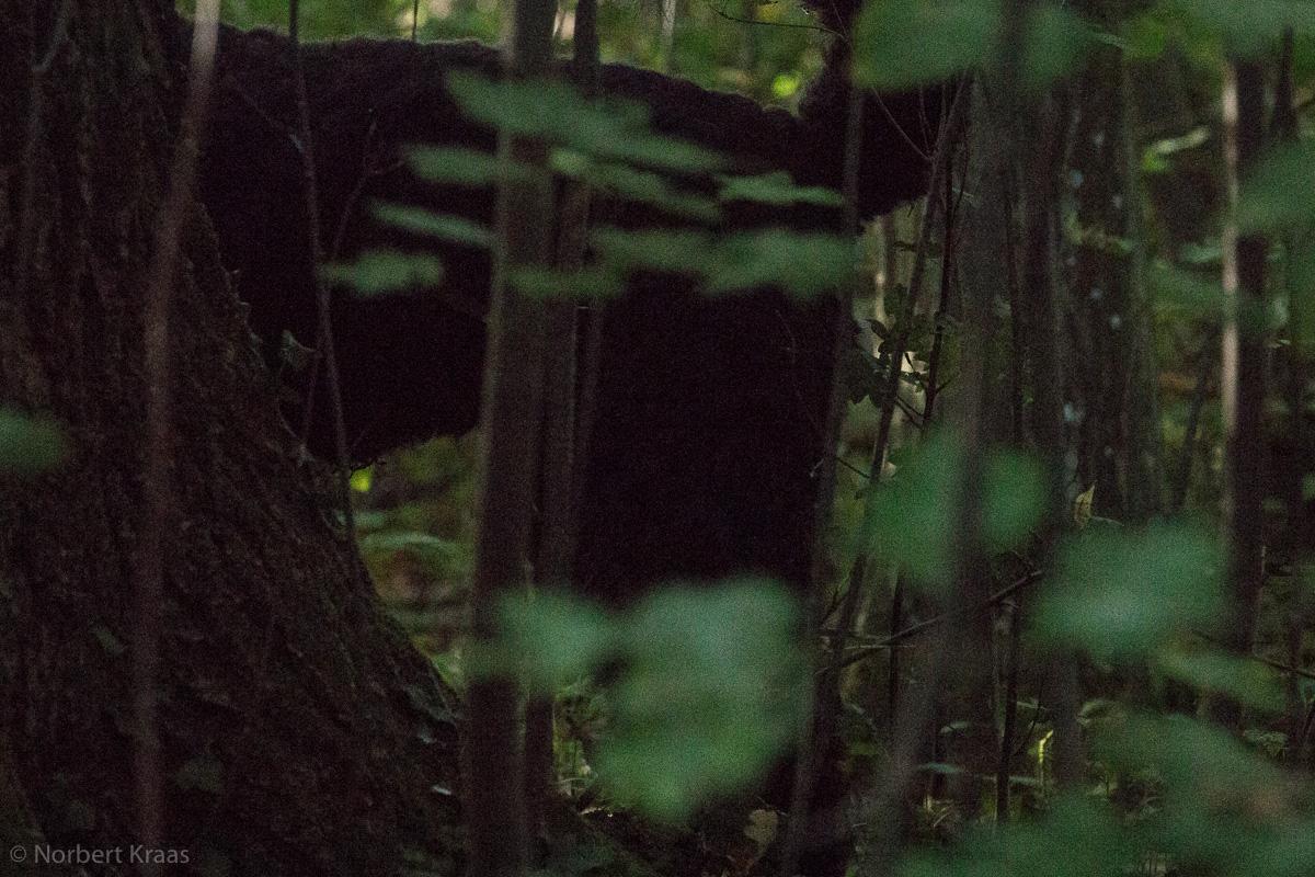 Ist der Bärenpanther wieder im Schönbuch unterwegs? Foto: Norbert Kraas
