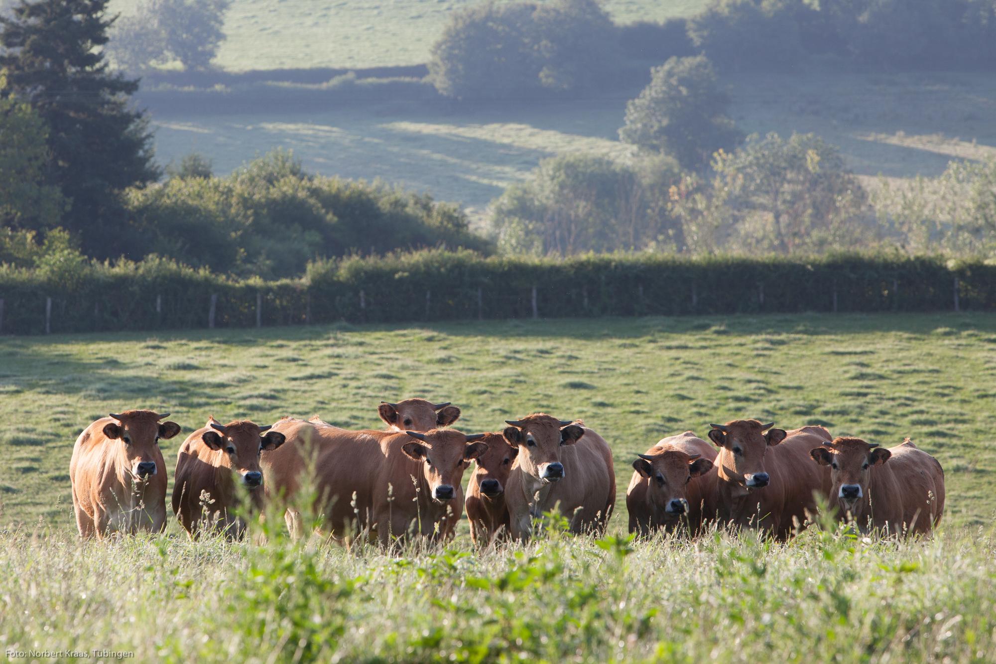 Aubrac-Rinder am frühen Morgen auf einer Weide in Burgund. Foto: Norbert Kraas