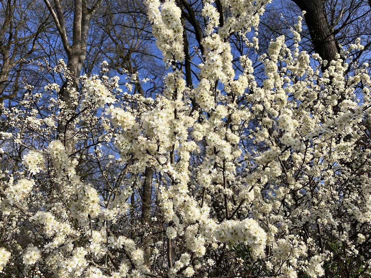 Prächtige Blüten am Schönbuchrand bei Waldhausen