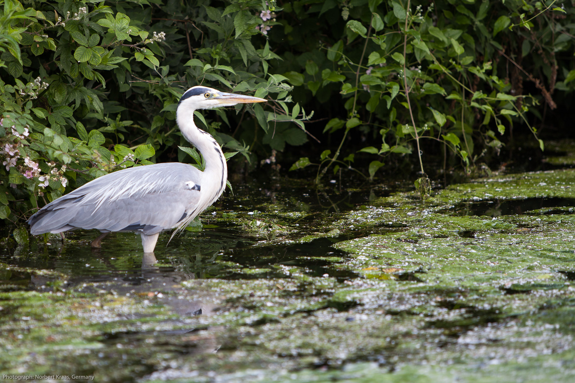 Heron on the Chichester Canal, West Sussex. Photograph: Norbert Kraas