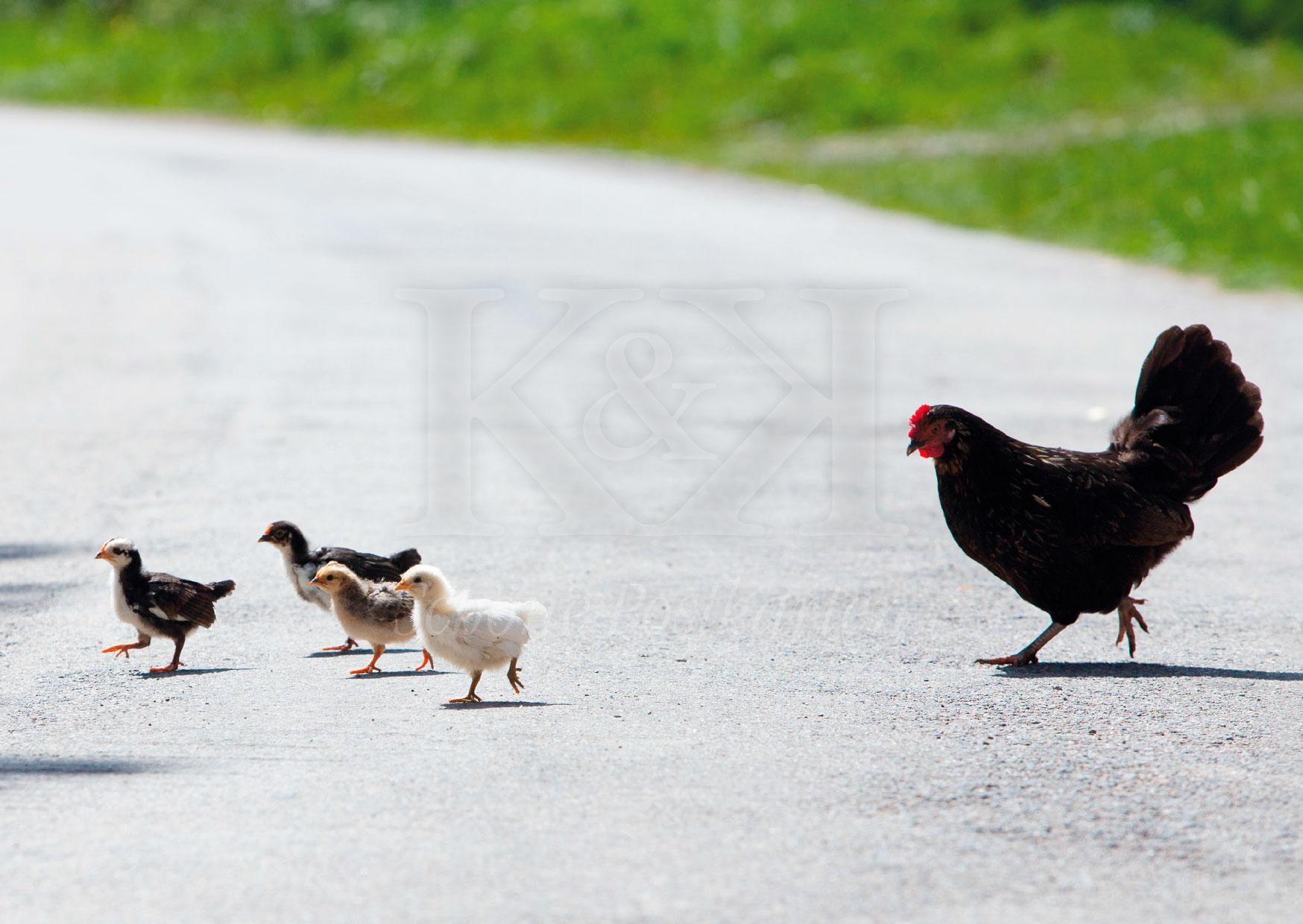 Sehr freilaufend: Henne mit Küken in Burgund. © Schöne Postkarten, Tübingen