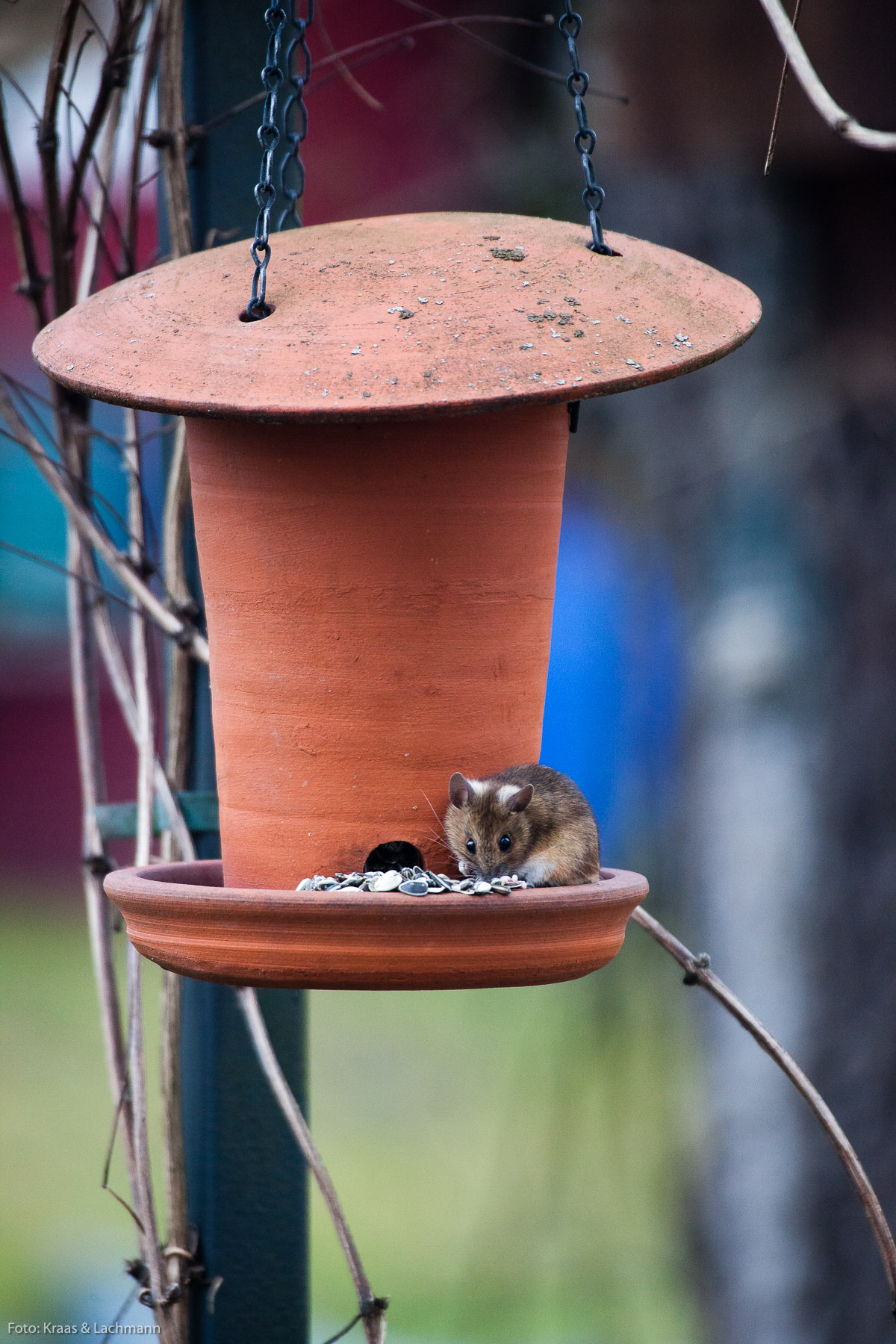 Mouse at the feeder in Tuebingen, Germany.