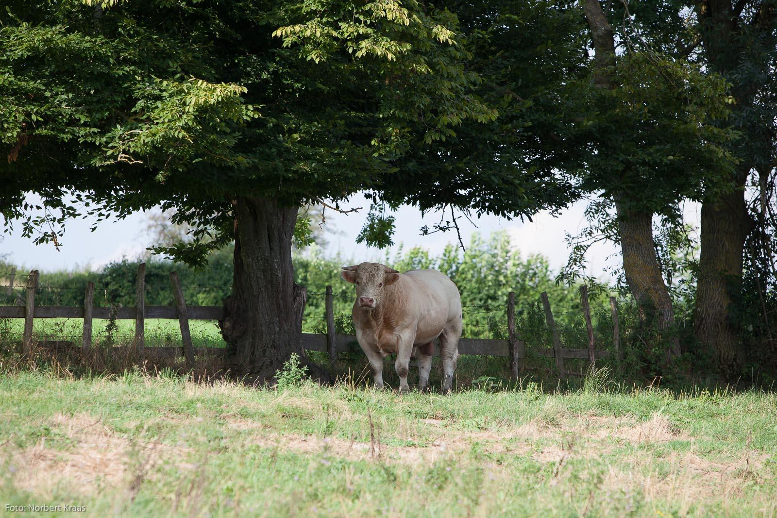 Taureau en Bourgogne en regardant un photographe allemand. Foto: Norbert Kraas